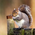 Grey Squirrel by John Devries/science Photo Library
