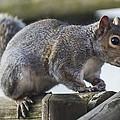 Grey Squirrel by John Richardson