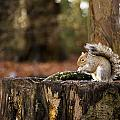 Grey Squirrel On A Stump by Spikey Mouse Photography