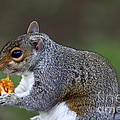 Grey Squirrel Tucking In by James Brunker