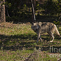 Grey Wolf   #3315 by J L Woody Wooden