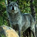 North American Wolf  by Aidan Moran