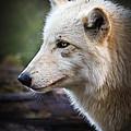 Grey Wolf by Athena Mckinzie