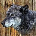 Grey Wolf On Wood by Steve McKinzie