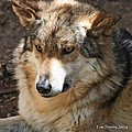 Grey Wolf by Tom Janca