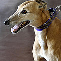Greyhound Dog by Sally Rockefeller