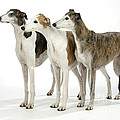 Greyhound Dogs by John Daniels