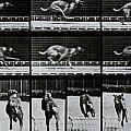 Greyhound Running by Eadweard Muybridge