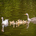 Greylag Goose Family by Mark Llewellyn