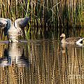 Greylag Goose Family by Torbjorn Swenelius