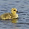 Greylag Goose Gosling Zeeland by Sytze Jongma