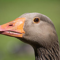 Greylag Goose by Scott Lyons