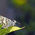 Grizzled Skipper Two by Michael Peychich