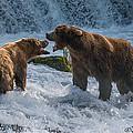 Grizzlies Fighting by Joan Wallner