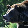 Grizzly-7755 by Gary Gingrich Galleries