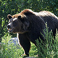 Grizzly-7756 by Gary Gingrich Galleries