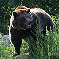 Grizzly-7759 by Gary Gingrich Galleries