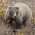 Grizzly Amongst Fall Foliage In Denali by Cathy Hart