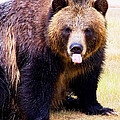Grizzly Bear 1 by Walter Herrit