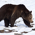 Grizzly Bear  #2463 by J L Woody Wooden