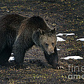 Grizzly Bear  #2510 by J L Woody Wooden