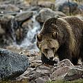 Grizzly Bear 4 by Lee Kirchhevel