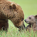 Grizzly Bear And Cub in Katmai by Yva Momatiuk John Eastcott