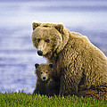 Grizzly Bear And Cub by Boyd Norton