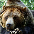 Grizzly Bear At Rest In Colorado Wildneress by Amy McDaniel