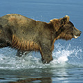 Grizzly Bear Chasing Fish by Matthias Breiter