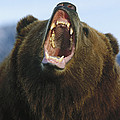 Grizzly Bear Close Up Of Growling Face by Konrad Wothe