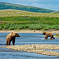 Grizzly Bear Communication In The Moraine River In Katmai  Np-ak by Ruth Hager