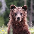 Grizzly Bear Cub by Wonders of Nature Photography