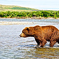 Grizzly Bear Determined To Catch A Salmon This Time In The Moraine River  by Ruth Hager