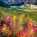 Grizzly Bear Fireweed by Tim Newton