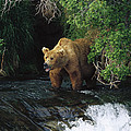 Grizzly Bear Fishing Brooks River Falls by Konrad Wothe