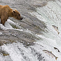 Grizzly Bear Fishing For Sockeye Salmon by Matthais Breiter