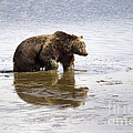 Grizzly Bear In Muddy Water by Mike Cavaroc