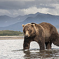 Grizzly Bear In River Katmai Np Alaska by Matthias  Breiter