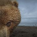 Grizzly Bear In Tidal Flats Alaska by Ingo Arndt