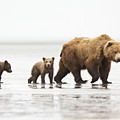 Grizzly Bear Mother And Cubs Lake Clark by Richard Garvey-Williams