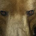 Grizzly Bear Portrait by San Diego Zoo