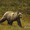 Grizzly Bear by Ron Sanford