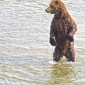 Grizzly Bear Standing To Get A Better Look In The Moraine River In Katmai by Ruth Hager
