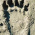Grizzly Bear Track In Soft Mud. by Stephan Pietzko