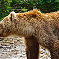 Grizzly Bear Very Close In Moraine River In Katmai National Preserve-ak by Ruth Hager