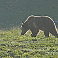 Grizzly Bear With Aura by Bob Dowling