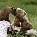 Grizzly Bear With Cub Playing by Matthias Breiter