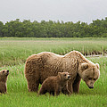 Grizzly Bear With Spring Cubs by Matthias Breiter