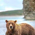 Grizzly Bears Also Called Brown Bears by Tom Norring